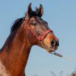 Espliego de Jama PRE Stallion Equine Reproductive Centre Jama Talavera de la Reina Toledo Spain