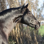 Filántropo PRE Stallion Equine Reproductive Centre Jama Talavera de la Reina Toledo Spain