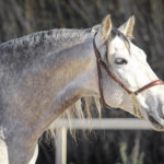 PRE Stallion Sir Voluntario Equine Reproductive Centre Jama Talavera de la Reina Toledo Spain