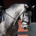 Lirio de LYW PSL Stallion (Pure bred Lusitano) Equine Reproductive Centre Jama Talavera de la Reina Toledo Spain